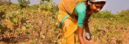 Le coton OGM qui pousse les agriculteurs au suicide, un mythe?