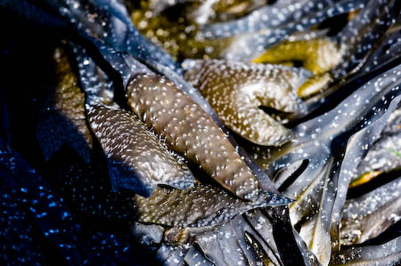 Les carburants s'élaborent avec des micro-algues, pas avec du varech © Denis Delbecq