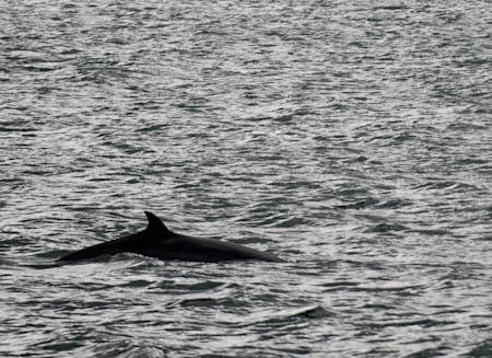 Baleine de Minke en Islande © Denis Delbecq