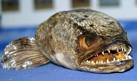 Le Fishzilla dans toute sa splendeur © DR