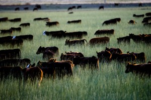 Dans la pampa argentine, les troupeaux mangent de l'herbe! © Denis Delbecq
