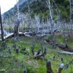 Quand les castors passent, les arbres trépassent © Incahuella