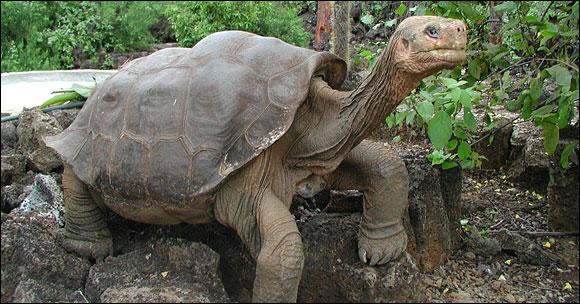 Jorge le solitaire, dernier specimen d'une tortue des Galapagos, attend qu'on lui trouve une compagne. En attendant, ses cousines font le ménage sur son île d'origine © Parc national des Galapagos
