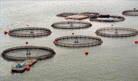 La multiplication des bassins de salmoniculture au Chili dérange les pêcheurs locaux et les ONG © La révolution vive