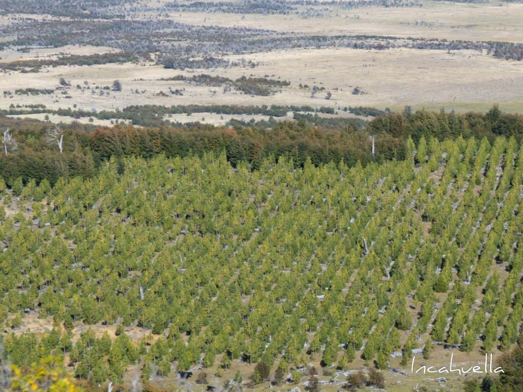 Les plantations de pin façonnent le paysage au dépens des forêts historiques © Incahuella