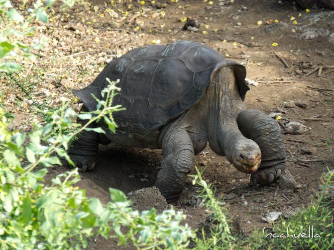 Les tortues géantes des Galapagos sont protégées par le Parc National © Incahuella