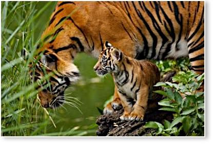 Tigre de Sumatra © ZSL
